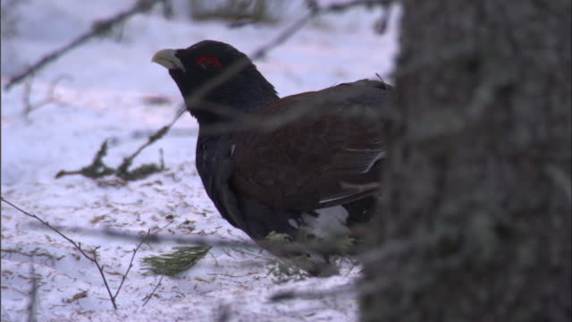 male capercaillie eats pine shoot in snowy forest, finland - finnland stock-videos und b-roll-filmmaterial
