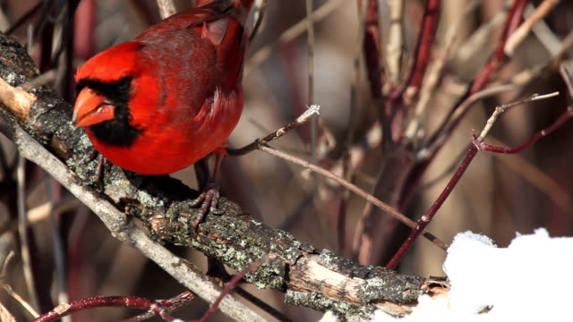 Male cardinal eating snow