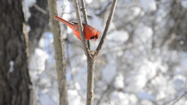 stockvideo's en b-roll-footage met male cardinal eating suet in a tree in the winter - vier dieren