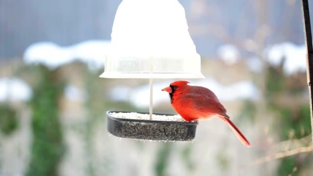 Männliche Cardinal im Winter at Bird Feeder