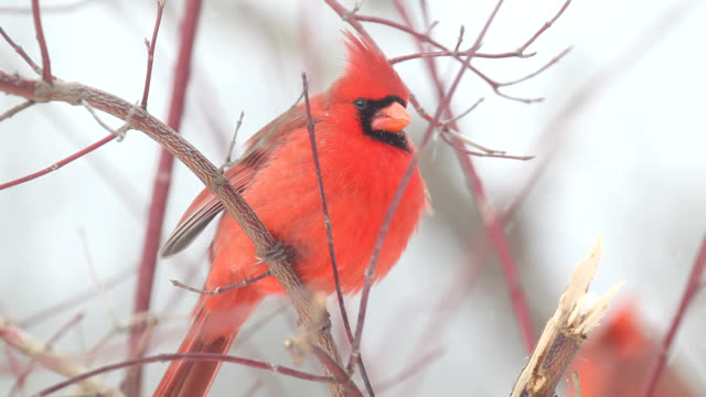 Male cardinal puffing feathers