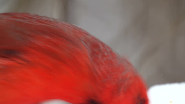 Male cardinal searching for seeds