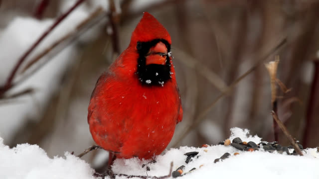 Male cardinals eating seeds