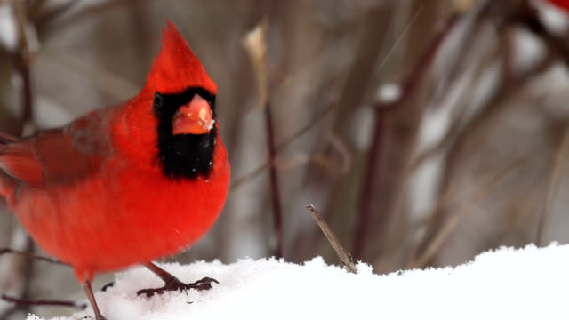 Male cardinals fighting over seeds