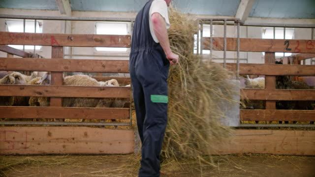 vídeos y material grabado en eventos de stock de vigilante de ds hombre heno a las ovejas comiendo en el alimentador de la línea de lanzamiento - bieldo equipo agrícola