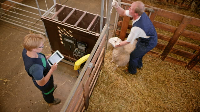 male caretaker taking a sheep and putting it into weighing machine - livestock tag stock videos and b-roll footage