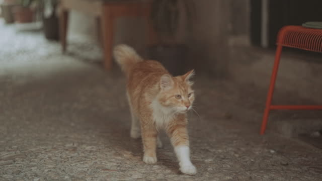male cat walks like lion in the streets of dubrovnik, croatia in slow motion - alley stock videos & royalty-free footage