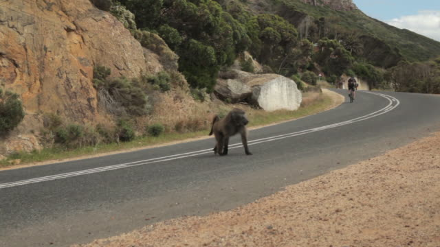 A male Chacma baboon (Papio ursinus) attempts to open the doors of a parked car on the outskirts of Cape Town.
