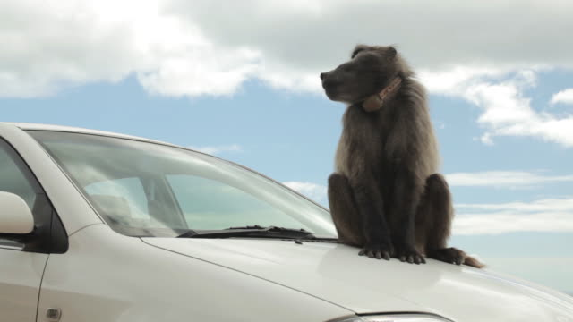 a male chacma baboon (papio ursinus) sits on the bonnet of a parked car. - wildlife tracking tag stock videos and b-roll footage