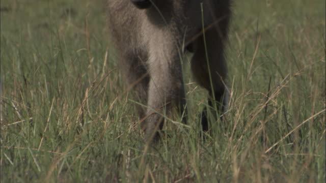 male chacma baboon wades in swamp, okavango delta, botswana - futter suchen stock-videos und b-roll-filmmaterial