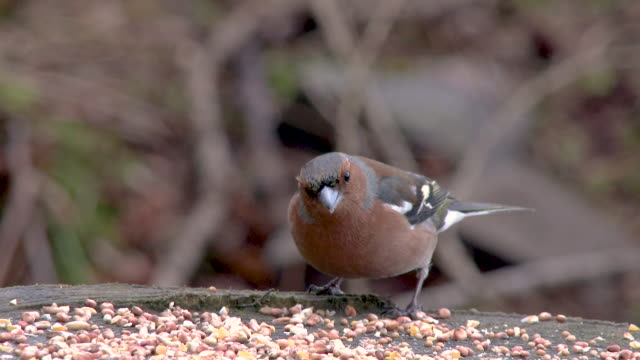 male chaffinch eating seed at a feeding station before flying away - galloway scotland stock videos & royalty-free footage