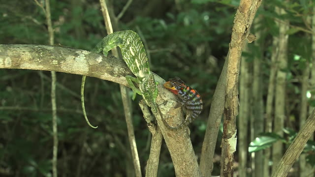 ms zi male chameleon (furcifer) (bright green & white with a horn) approaching female (furcifer) (with bright orange, blue, brown colouring) on branch / madagascar - reptile stock videos & royalty-free footage