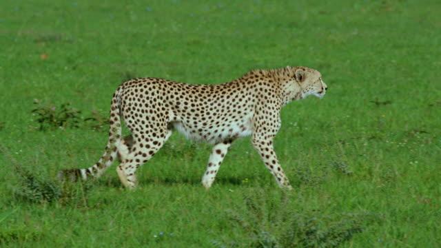 male cheetah stalking maasai mara  kenya  africa - male animal stock videos & royalty-free footage