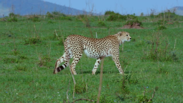 Male Cheetah Walking Maasai Mara  Kenya  Africa
