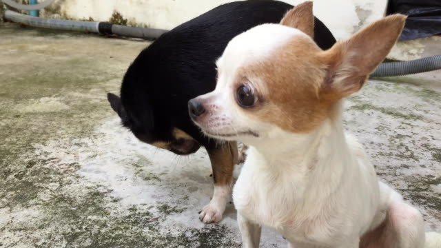 male chihuahua dog penis erection - dog erection stock videos & royalty-free footage