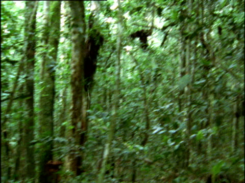 vídeos y material grabado en eventos de stock de male chimp clings to sapling, then falls to the ground in forest, uganda - chimpancé común