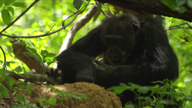 cu male chimpanzee fishing for and eating termites using a twig - twig stock videos & royalty-free footage