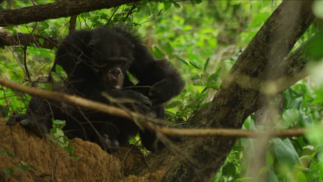 ms male chimpanzee fishing for and eating termites using a twig - twig stock videos & royalty-free footage