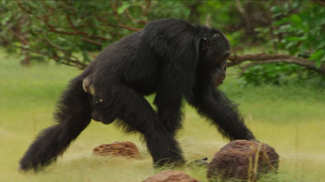 cu pan male chimpanzee knuckle walking across clearing - dominering bildbanksvideor och videomaterial från bakom kulisserna
