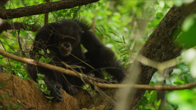 ms male chimpanzee shaping a twig then fishing for termites with it - twig stock videos & royalty-free footage