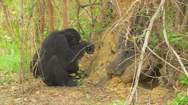 ms male chimpanzee walking then fishing for termites with a twig - twig stock videos & royalty-free footage