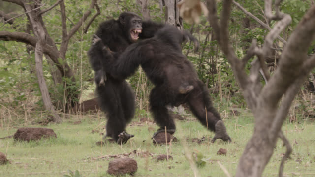 male chimpanzees (pan troglodytes) fight in forest clearing, senegal - chimpanzee stock videos & royalty-free footage