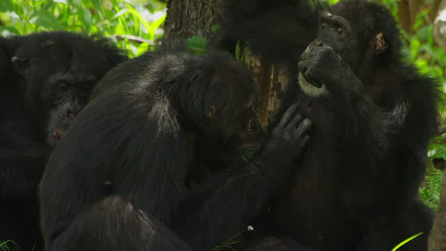 cu pan 3 male chimpanzees grooming on forest floor - three animals stock videos & royalty-free footage