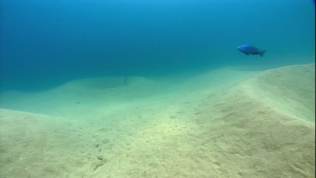male cichlids swim over their sand bowers on the bed of lake malawi. available in hd. - lake bed stock videos & royalty-free footage