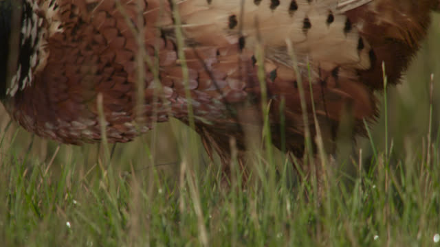 Male common pheasant (Phasianus colchicus) forages in field, Essex, England