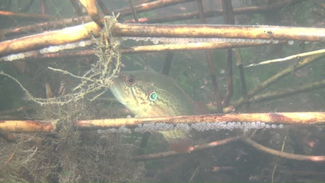 vídeos de stock e filmes b-roll de a male coreoperca kawamebari(a group of mandarin fish) guarding eggs in a river upstream - planta d'água