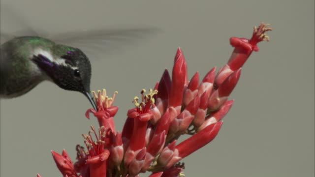 Male costa hummingbird drinks nectar