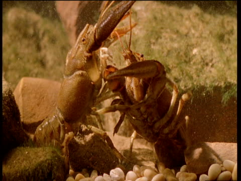 vídeos de stock e filmes b-roll de male crayfish turns over female to mate on bed of river - lagostim animal