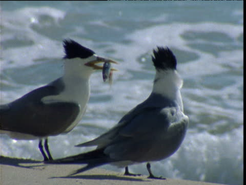 male crested tern gives fish as gift to female who eats it, shark bay, western australia - shark bay stock videos & royalty-free footage
