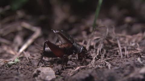 a male cricket menacing another cricket - grillo insetto video stock e b–roll