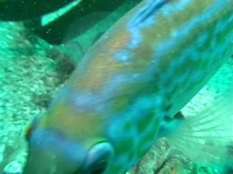 male cuckoo wrasse swims across reef in green blue water ws - cuckoo wrasse stock videos and b-roll footage
