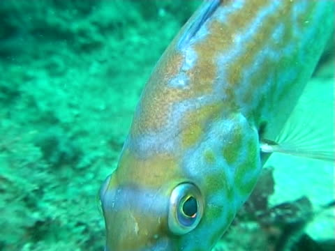 vídeos de stock, filmes e b-roll de male cuckoo wrasse swims across reef in green blue water ws - cuckoo wrasse