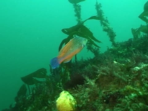 male cuckoo wrasse - cuckoo wrasse stock videos & royalty-free footage