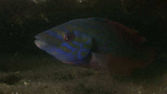vidéos et rushes de male cuckoo wrasse (labrus mixtus) with female. arran. underwater, north atlantic - cuckoo wrasse