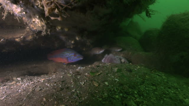 male cuckoo wrasse (labrus mixtus) with female. arran. underwater, north atlantic - cuckoo wrasse stock videos and b-roll footage