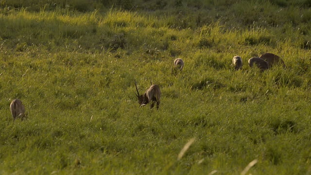male deer dig for relax in morning - deer family stock videos and b-roll footage