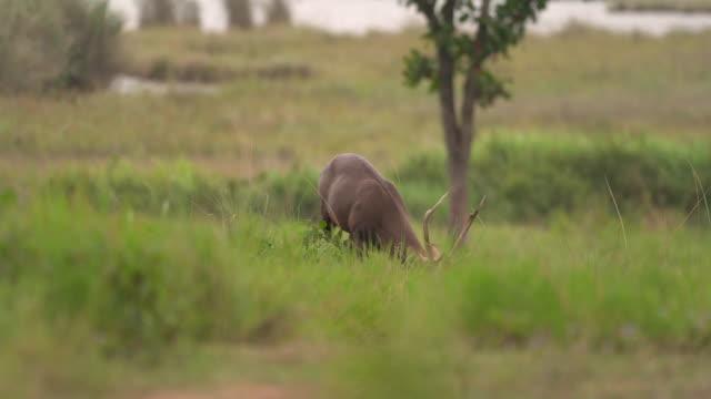 vídeos y material grabado en eventos de stock de ciervos machocomiendo hierba - protección de fauna salvaje