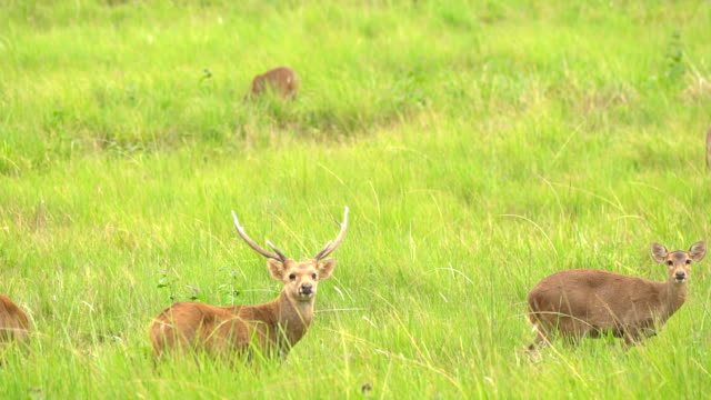 オスの鹿は、警告としてカメラを見て、それが歩き続ける前に警戒してください - 野生生物保護点の映像素材/bロール