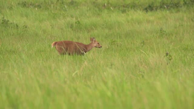 列として歩く雄の鹿 - 野生生物保護点の映像素材/bロール