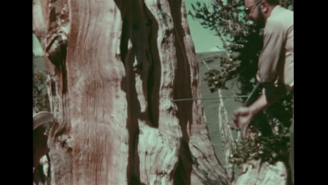 Male dendrochronologist using increment borer to take sample from ancient bristlecone pine tree trunk in White Mountains Faded color light spots...