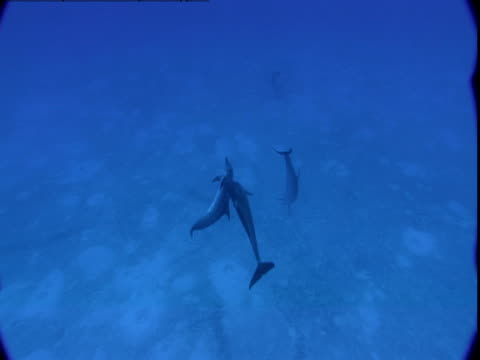 male dolphins attempt to mate with a female. - tierpenis stock-videos und b-roll-filmmaterial