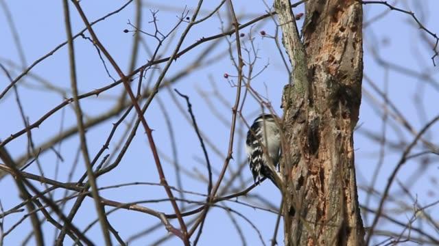stockvideo's en b-roll-footage met male downy woodpecker finding warms on bare tree. - bare tree