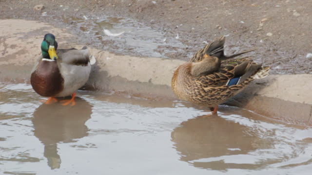 A male duck and a female duck stand together at the edge of water.