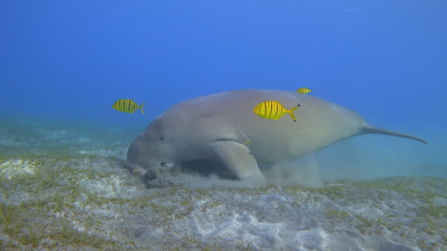 male dugong and golden trevally (gnathanodon speciosus) feeding on seagrass beds in red sea - marsa alam - egypt - dugongo video stock e b–roll