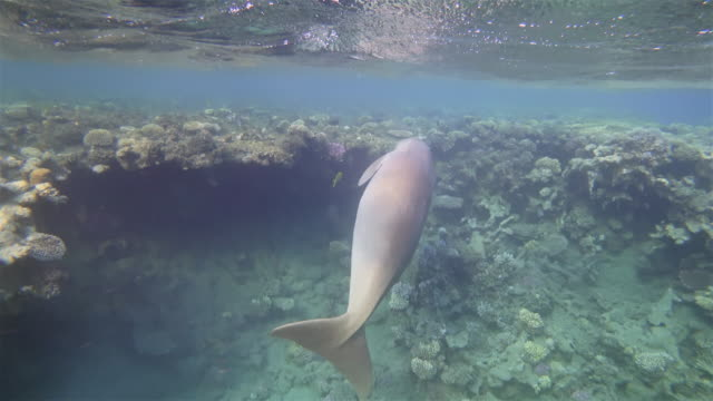 male dugong ( sirenia ) on beautiful coral reef in red sea - marsa alam - egypt - dugong stock videos & royalty-free footage