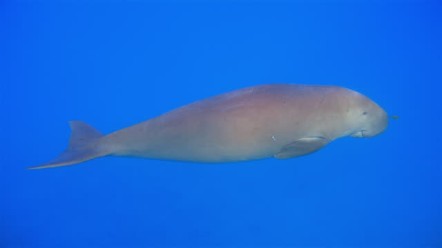male dugong ( sirenia ) swimming in red sea - marsa alam - egypt - dugong stock videos & royalty-free footage